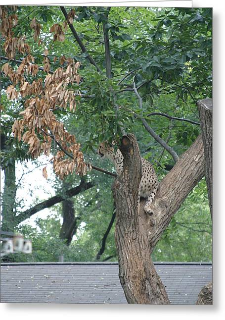 Cat Photographs Greeting Cards - National Zoo - Leopard - 12124 Greeting Card by DC Photographer