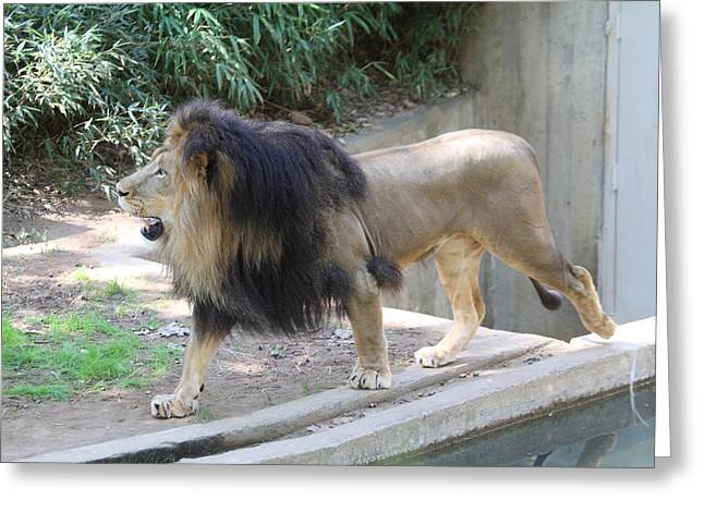 Lions Greeting Cards - National Zoo - Lion - 011310 Greeting Card by DC Photographer