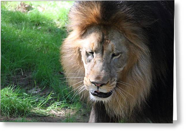 National Zoo - Lion - 011313 Greeting Card by DC Photographer