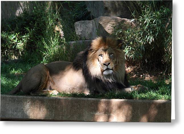 Lions Photographs Greeting Cards - National Zoo - Lion - 011315 Greeting Card by DC Photographer