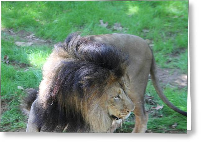 Lions Greeting Cards - National Zoo - Lion - 01132 Greeting Card by DC Photographer