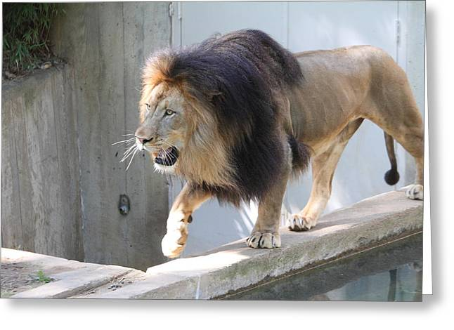 Lions Photographs Greeting Cards - National Zoo - Lion - 01139 Greeting Card by DC Photographer