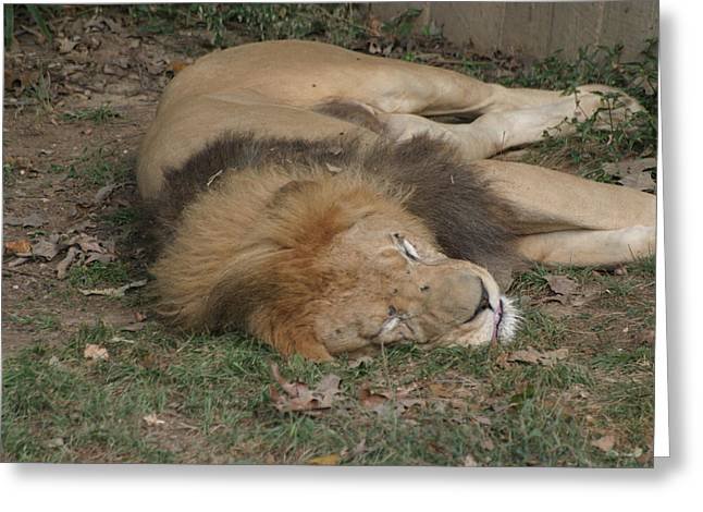 Lioness Greeting Cards - National Zoo - Lion - 12121 Greeting Card by DC Photographer
