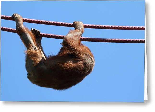 Orangutan Greeting Cards - National Zoo - Orangutan - 011313 Greeting Card by DC Photographer