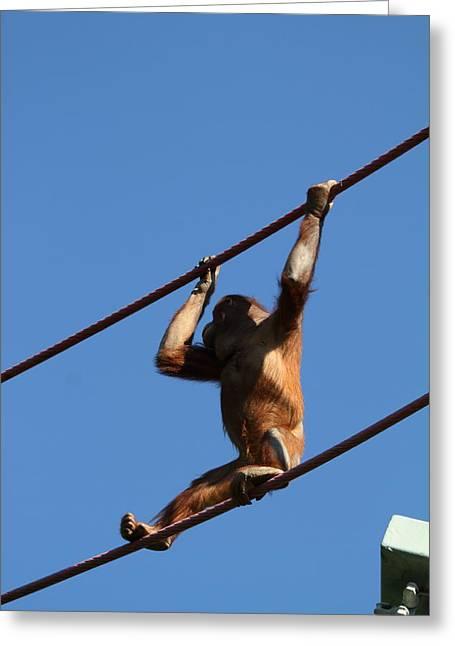 Orangutan Greeting Cards - National Zoo - Orangutan - 011318 Greeting Card by DC Photographer