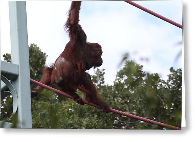 Orangutan Greeting Cards - National Zoo - Orangutan - 01132 Greeting Card by DC Photographer