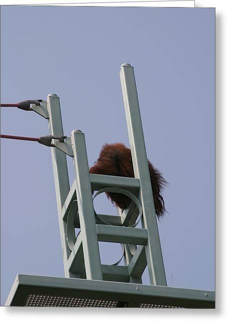 National Zoo - Orangutan - 121213 Greeting Card by DC Photographer