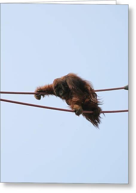 Orangutan Greeting Cards - National Zoo - Orangutan - 121214 Greeting Card by DC Photographer