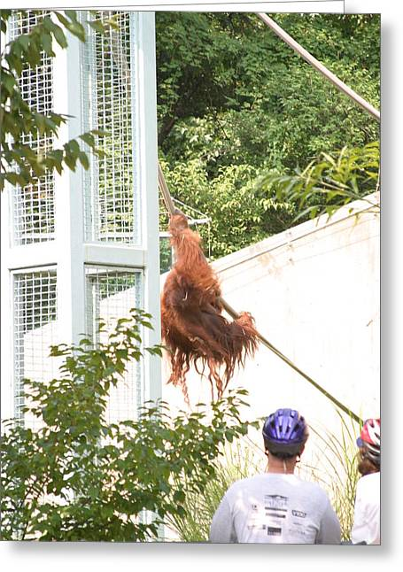 Dc Greeting Cards - National Zoo - Orangutan - 12127 Greeting Card by DC Photographer