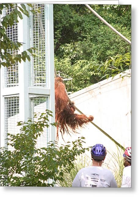 Orangutan Greeting Cards - National Zoo - Orangutan - 12128 Greeting Card by DC Photographer