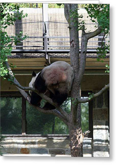 Dc Greeting Cards - National Zoo - Panda - 011336 Greeting Card by DC Photographer