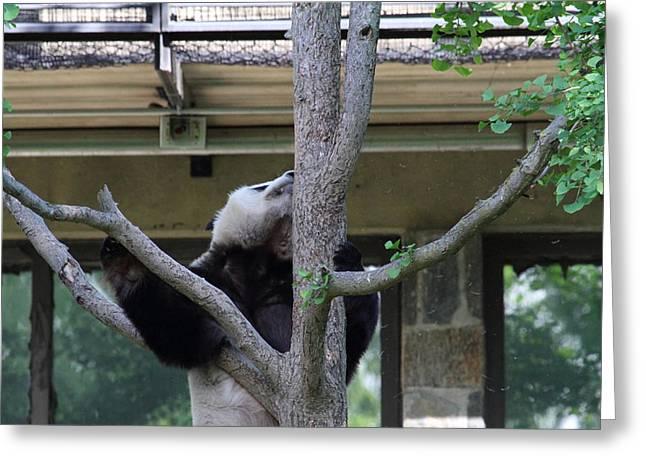 Panda Greeting Cards - National Zoo - Panda - 011339 Greeting Card by DC Photographer
