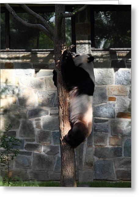 Washington Greeting Cards - National Zoo - Panda - 011340 Greeting Card by DC Photographer