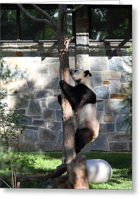 National Zoo - Panda - 011341 Greeting Card by DC Photographer