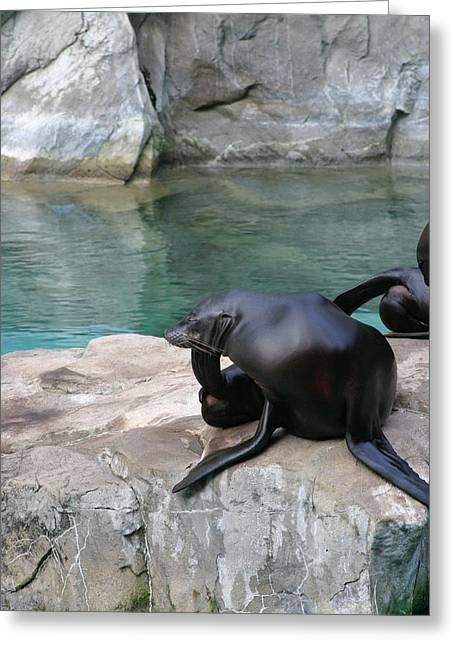 Lion Greeting Cards - National Zoo - Sea Lion - 12125 Greeting Card by DC Photographer