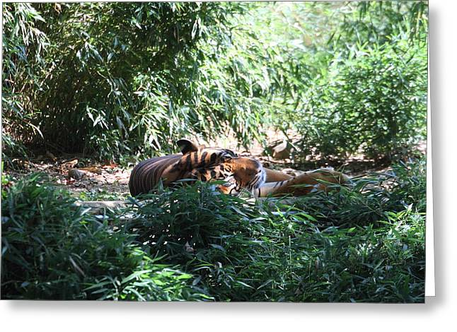 Tiger Greeting Cards - National Zoo - Tiger - 01131 Greeting Card by DC Photographer