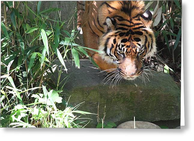 Tiger Greeting Cards - National Zoo - Tiger - 011310 Greeting Card by DC Photographer