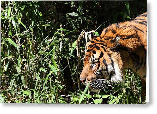 Big Photographs Greeting Cards - National Zoo - Tiger - 011311 Greeting Card by DC Photographer