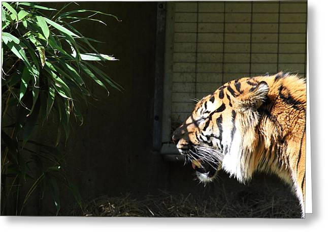 Tiger Greeting Cards - National Zoo - Tiger - 011313 Greeting Card by DC Photographer