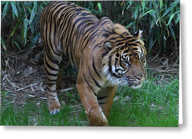 Tiger Photographs Greeting Cards - National Zoo - Tiger - 011315 Greeting Card by DC Photographer