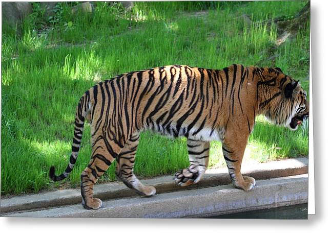 National Zoo - Tiger - 011322 Greeting Card by DC Photographer