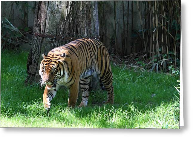 Big Greeting Cards - National Zoo - Tiger - 011327 Greeting Card by DC Photographer