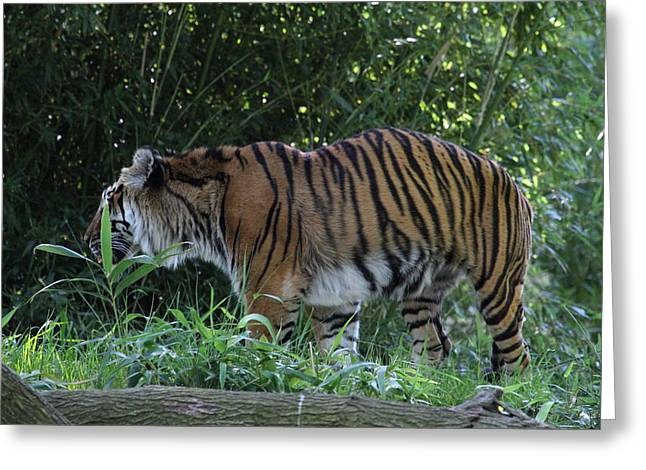 National Zoo - Tiger - 01134 Greeting Card by DC Photographer