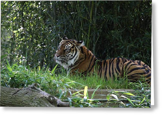 National Greeting Cards - National Zoo - Tiger - 01135 Greeting Card by DC Photographer