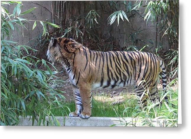 Bigcat Greeting Cards - National Zoo - Tiger - 01137 Greeting Card by DC Photographer