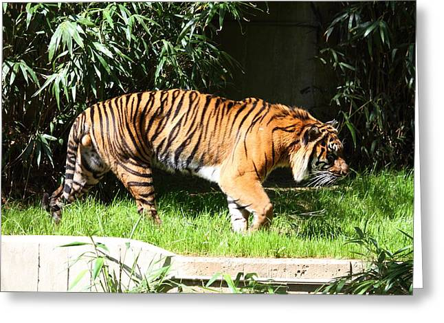 Parks Greeting Cards - National Zoo - Tiger - 01139 Greeting Card by DC Photographer