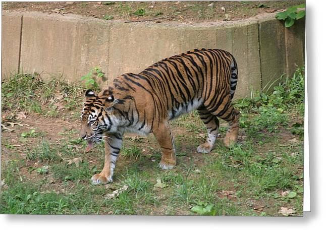 Zoo Greeting Cards - National Zoo - Tiger - 121213 Greeting Card by DC Photographer
