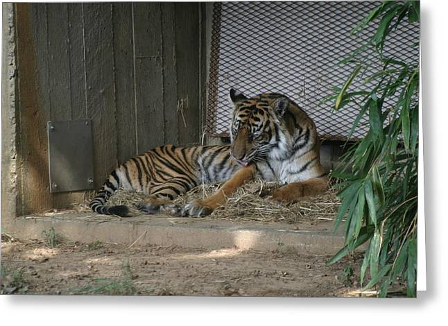 Big Photographs Greeting Cards - National Zoo - Tiger - 12123 Greeting Card by DC Photographer