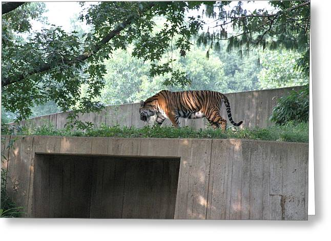 Tiger Photographs Greeting Cards - National Zoo - Tiger - 12128 Greeting Card by DC Photographer