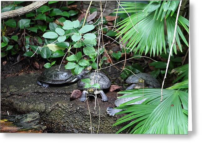 Shell Greeting Cards - National Zoo - Turtle - 01132 Greeting Card by DC Photographer