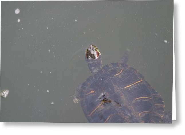 Shell Greeting Cards - National Zoo - Turtle - 12125 Greeting Card by DC Photographer