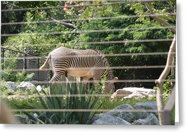 Striped Photographs Greeting Cards - National Zoo - Zebra - 12121 Greeting Card by DC Photographer