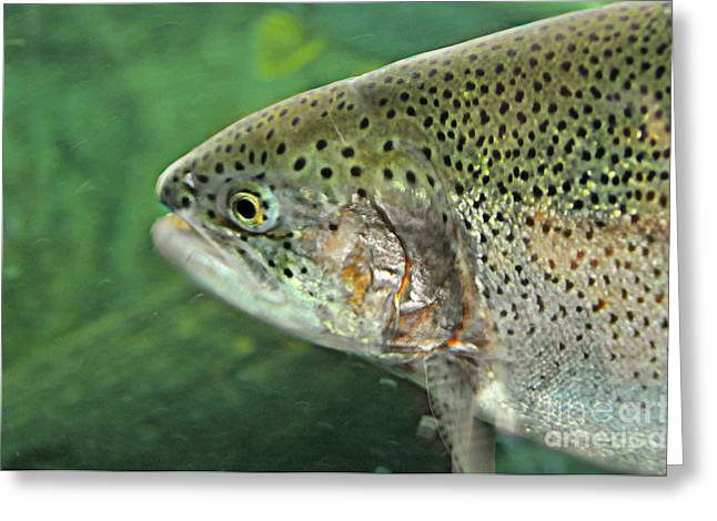 Rainbow Trout Greeting Cards - Native Rainbow Trout Greeting Card by Mindy Bench