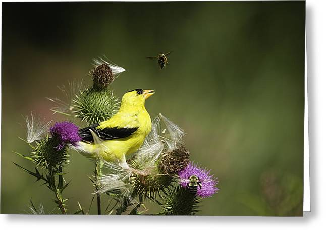 American Goldfinch Greeting Cards - Natural Attraction Greeting Card by Thomas Young