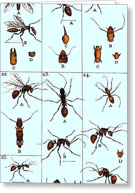 Color Enhanced Greeting Cards - Natural History Of Ants, 1802 Greeting Card by Science Source