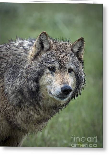 Wild Animals Greeting Cards - Natural Senses Greeting Card by Wildlife Fine Art