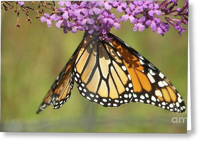 Eunice Miller Greeting Cards -  Butterfly  Greeting Card by Eunice Miller