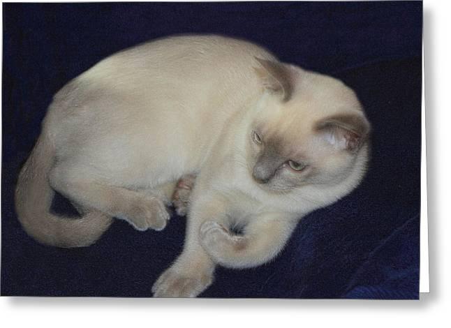 Tonkinese Greeting Cards - Natural Unaltered Tonkinese Kitten Greeting Card by Linda Phelps
