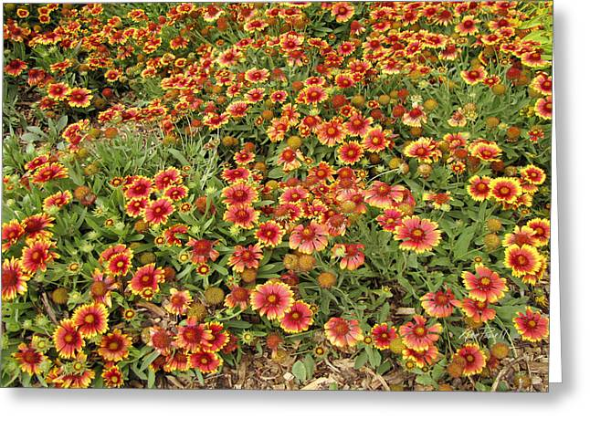 Flower Photos Greeting Cards - nature - flowers -Blanket Flowers Four - photography Greeting Card by Ann Powell