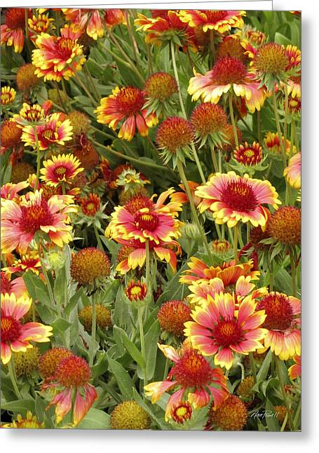 Flower Photos Greeting Cards - nature - flowers -Blanket Flowers Six -photography Greeting Card by Ann Powell