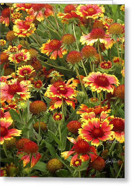 Flower Photos Greeting Cards - nature -flowers - Blanket Flowers Three  - photography Greeting Card by Ann Powell