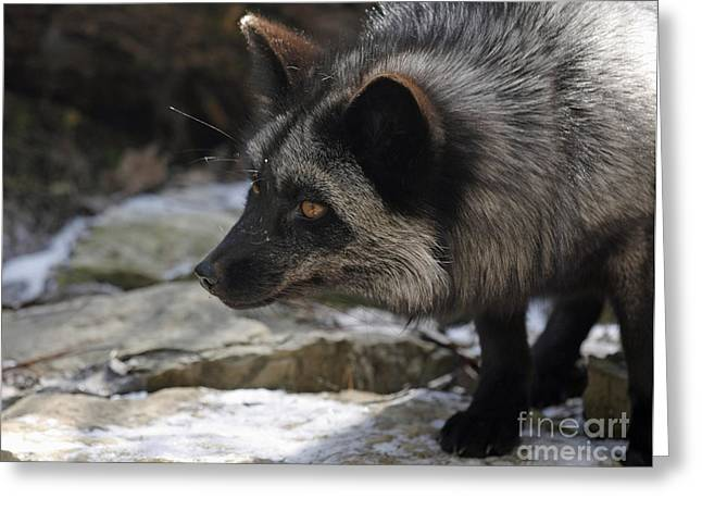 Shelley Myke Greeting Cards - Natures Beauty Silver Fox  Greeting Card by Inspired Nature Photography By Shelley Myke
