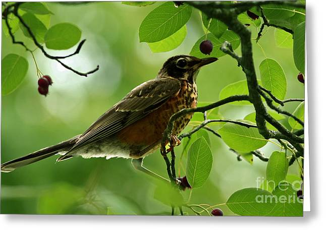 Shelley Myke Greeting Cards - Natures Bounty American Robin Greeting Card by Inspired Nature Photography By Shelley Myke