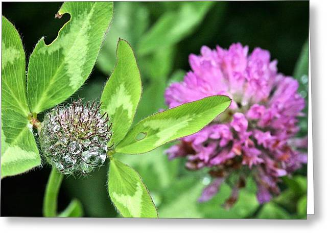 Dewdrops Greeting Cards - Natures Crown Jewels  Greeting Card by JC Findley
