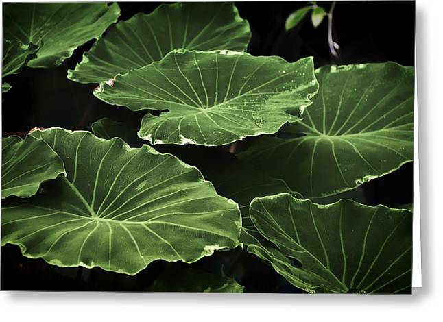 Elephant Ear Plant Greeting Cards - Natures Gift Greeting Card by Mountain Dreams