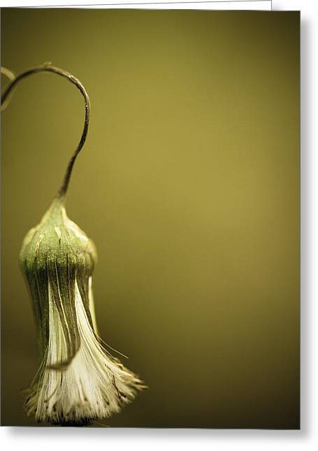 Dandelions Greeting Cards - Natures Little Lamp Greeting Card by Shane Holsclaw